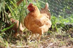 Κότα αγροτικού κοτόπουλου Στοκ εικόνες με δικαίωμα ελεύθερης χρήσης