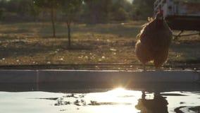Κότα και λίμνη απόθεμα βίντεο
