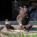 Κότα και κοτόπουλα που ραμφίζουν το σιτάρι στοκ εικόνα