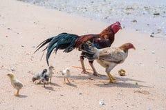 Κότα και κόκκορας και νεοσσοί που περπατούν στην παραλία στοκ φωτογραφία με δικαίωμα ελεύθερης χρήσης