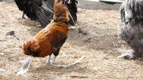 Κότα και κόκκορας με το ζωηρόχρωμο φτέρωμα και κοπάδι των γαλοπουλών στο κατώφλι όμορφος ζωολογικός κήπος πουλιών σε επαφή 4K απόθεμα βίντεο