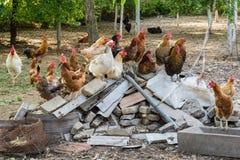 Κότα και κόκκορας στο παραδοσιακό ελεύθερο φάρμα πουλερικών σειράς Στοκ Εικόνες