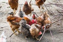 Κότα και κόκκορας στο παραδοσιακό ελεύθερο φάρμα πουλερικών σειράς Στοκ εικόνα με δικαίωμα ελεύθερης χρήσης