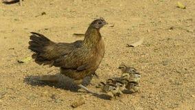 Κότα και νεοσσοί κοτόπουλου Στοκ φωτογραφίες με δικαίωμα ελεύθερης χρήσης