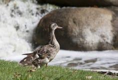 Κότα και νεοσσοί πρασινολαιμών Στοκ Εικόνες