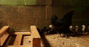 Κότα και νεοσσοί στη σιταποθήκη 4k απόθεμα βίντεο