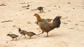 Κότα κοτόπουλου που περπατά την αγροτική θέση επαρχίας απόθεμα βίντεο
