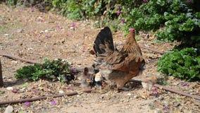 κότα κοτόπουλων φιλμ μικρού μήκους