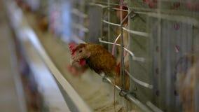 Κότα μέσα σε ένα κλουβί απόθεμα βίντεο