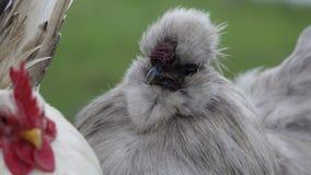 Κότα μεταξιού στενή Στοκ Εικόνες