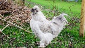 Κότα μεταξιού Στοκ Εικόνα