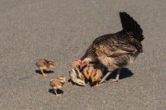 Κότα με τους νεοσσούς kauai Χαβάη Στοκ Εικόνες