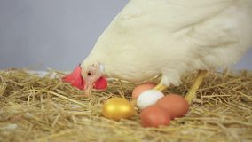 Κότα με το χρυσό αυγό απόθεμα βίντεο
