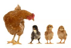 κότα νεοσσών Στοκ εικόνες με δικαίωμα ελεύθερης χρήσης