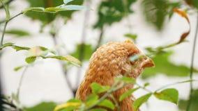 Κότα που κοιτάζει γύρω - το κεφάλι φιλμ μικρού μήκους