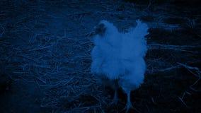 Κότα που περπατά γύρω στο αγρόκτημα τη νύχτα απόθεμα βίντεο