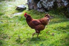 Κότα που περπατά στον τομέα Στοκ φωτογραφίες με δικαίωμα ελεύθερης χρήσης