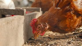 Κότα που τρώει το σιτάρι Κινηματογράφηση σε πρώτο πλάνο απόθεμα βίντεο