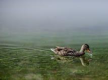 Κότα πρασινολαιμών με το σταγονίδιο νερού στο λογαριασμό Στοκ φωτογραφία με δικαίωμα ελεύθερης χρήσης