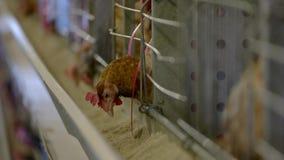 Κότα σε ένα κλουβί απόθεμα βίντεο