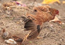 Κότα στη δράση στοκ εικόνα με δικαίωμα ελεύθερης χρήσης