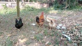 Κότα στο οδικό αυγό στοκ εικόνες με δικαίωμα ελεύθερης χρήσης