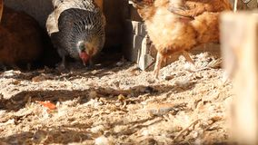 Κότα στο σπίτι κοτών απόθεμα βίντεο