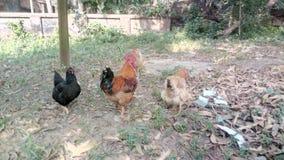 Κότα 2 στοκ εικόνα