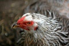 κότα στοκ φωτογραφία με δικαίωμα ελεύθερης χρήσης