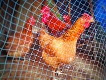 κότα στοκ φωτογραφίες με δικαίωμα ελεύθερης χρήσης