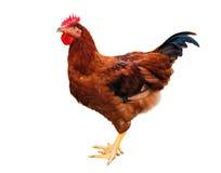 κότα στοκ εικόνες με δικαίωμα ελεύθερης χρήσης