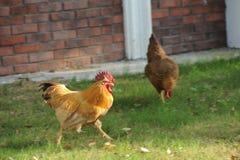 κότα Στοκ Φωτογραφία