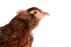 Κότα Araucana των μπλε αυγών Πάσχας από τη Χιλή Στοκ εικόνα με δικαίωμα ελεύθερης χρήσης