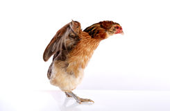 Κότα Araucana των μπλε αυγών Πάσχας από τη Χιλή Στοκ φωτογραφίες με δικαίωμα ελεύθερης χρήσης