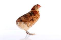 Κότα Araucana των μπλε αυγών Πάσχας από τη Χιλή Στοκ Φωτογραφίες
