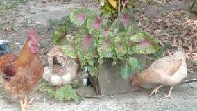 Κότα odisha της Ινδίας στο σπίτι στοκ εικόνα