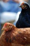 κότες δύο Στοκ Φωτογραφία
