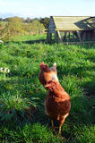 Κότες εκτός από το σπίτι κοτών τους Στοκ εικόνες με δικαίωμα ελεύθερης χρήσης