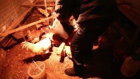 Κότες και ένας κόκκορας στο κοτέτσι απόθεμα βίντεο