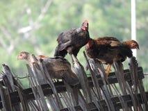 Κότες και κόκκορας στοκ εικόνα