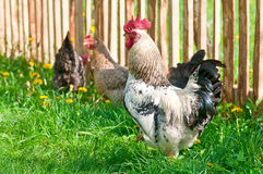 Κότες και κόκκορας Στοκ Φωτογραφία