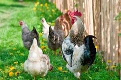 Κότες και κόκκορας Στοκ εικόνα με δικαίωμα ελεύθερης χρήσης