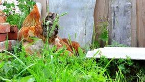 Κότες και κόκκορες που ραμφίζουν στην πράσινη χλόη στο ναυπηγείο κοντά στα τούβλα και το φράκτη απόθεμα βίντεο