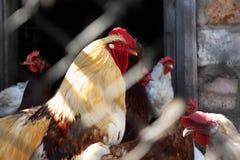 κότες κοκκόρων δικοί το&upsil Στοκ φωτογραφία με δικαίωμα ελεύθερης χρήσης
