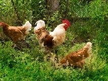 κότες κοκκόρων πουλιών Στοκ εικόνες με δικαίωμα ελεύθερης χρήσης