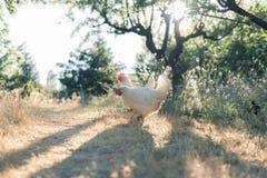 Κότες που ραμφίζουν σε έναν τομέα στοκ εικόνες