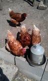 Κότες που ταΐζουν με τα σιτάρια Στοκ εικόνα με δικαίωμα ελεύθερης χρήσης