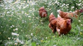 Κότες που τρώνε τη χλόη στη φύση απόθεμα βίντεο