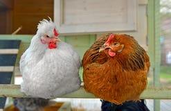 Κότες στο κοτέτσι Στοκ Εικόνα