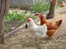 Κότες στο ναυπηγείο πουλερικών Στοκ φωτογραφίες με δικαίωμα ελεύθερης χρήσης